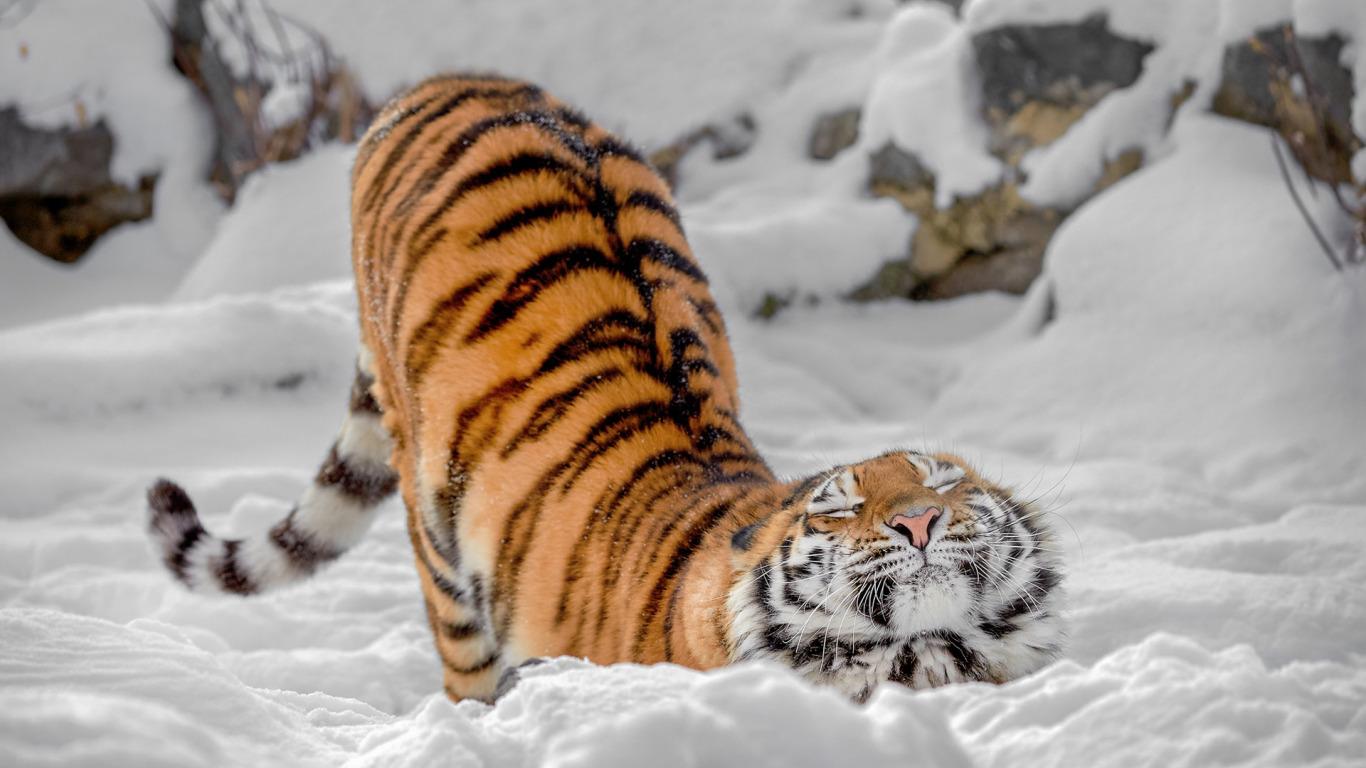 [Image: tigritsa-dikaia-koshka-potiagushki-zima-sneg.jpg]