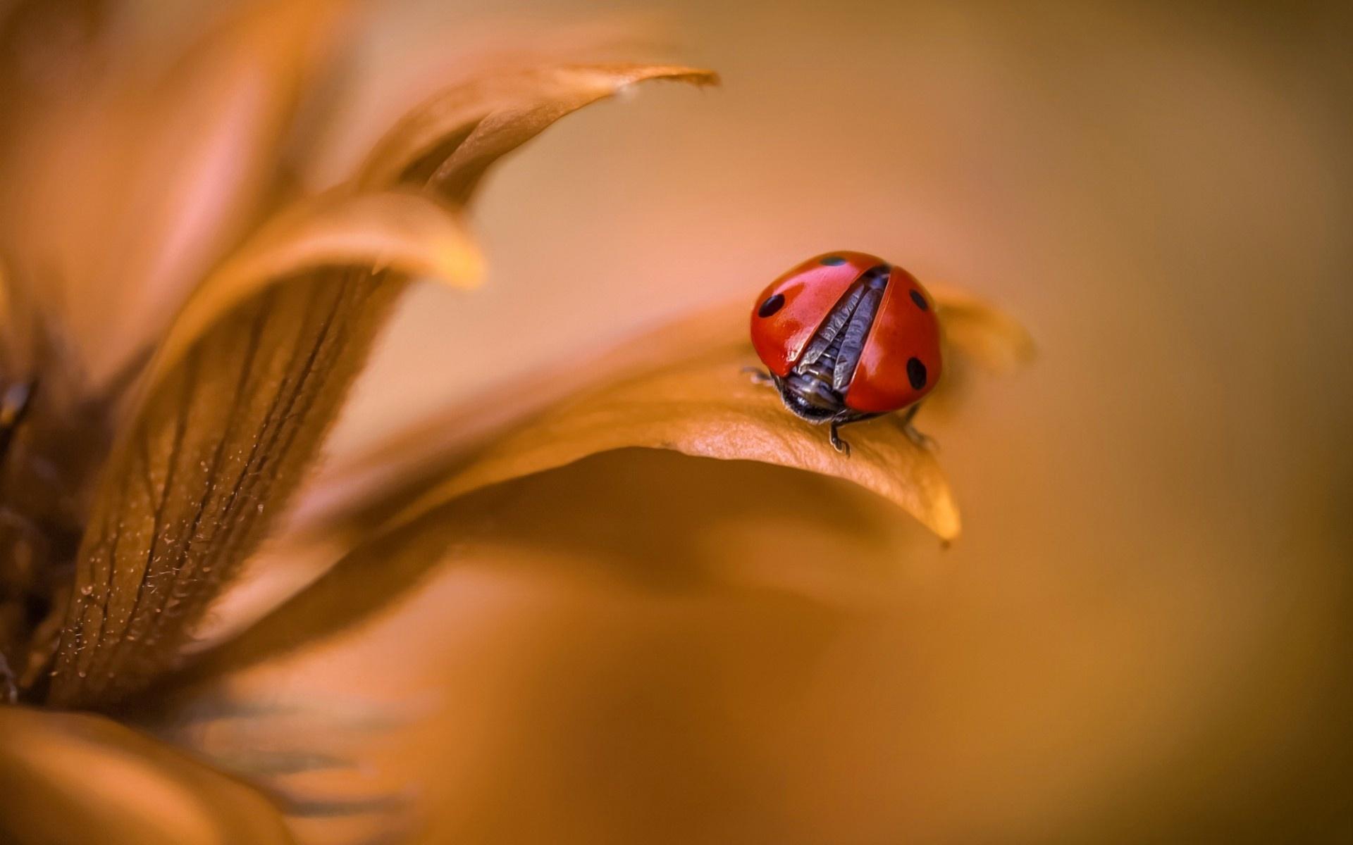 природа божья коровка цветок макро насекомое животное  № 3856344  скачать