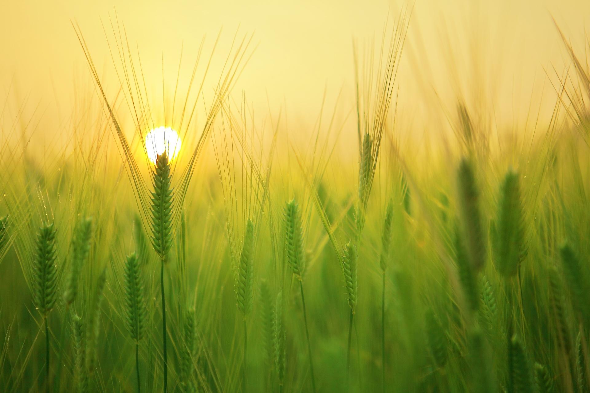 зеленые колосья цветы поляна  № 3213914 без смс