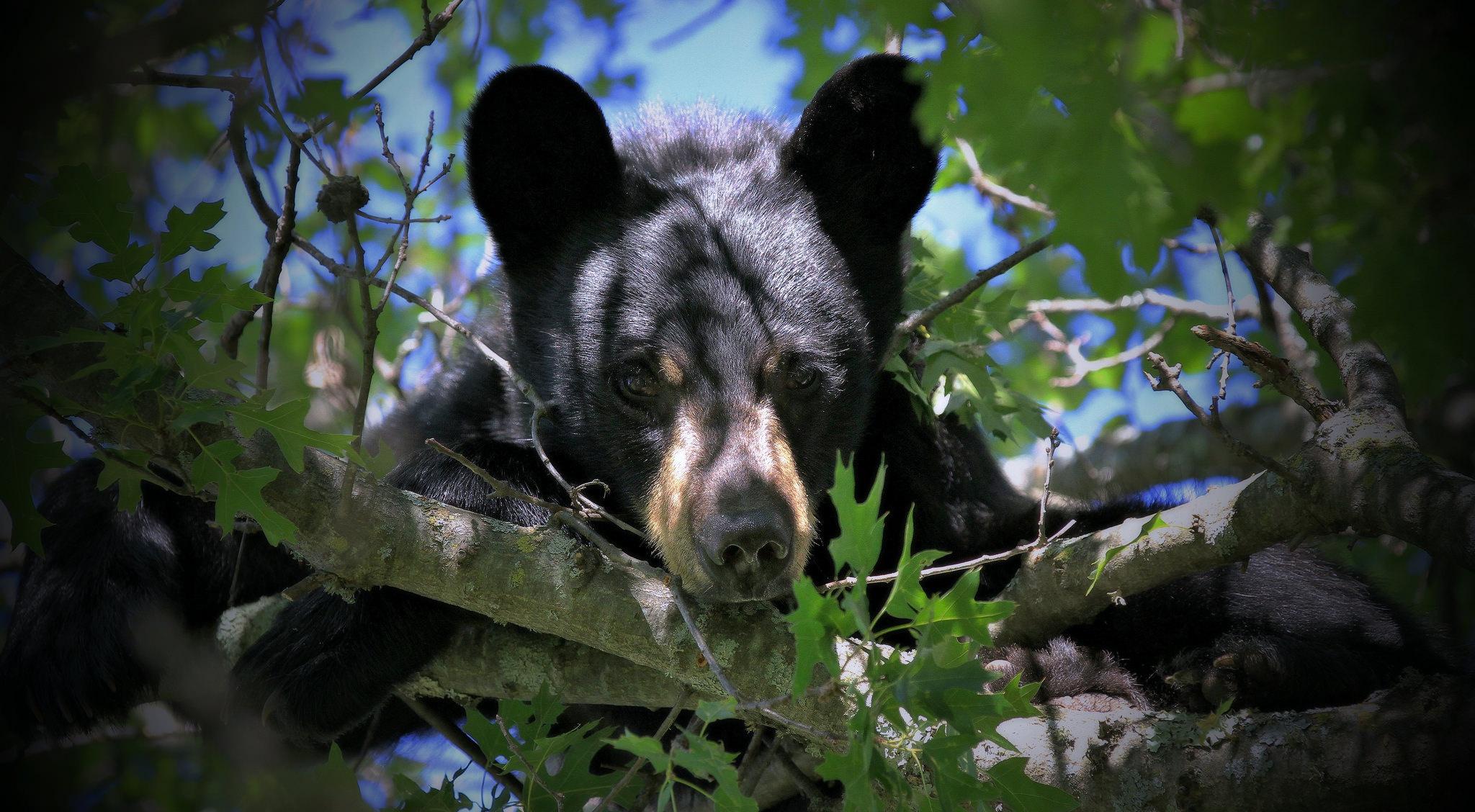 Черны медведь  № 3207614 бесплатно