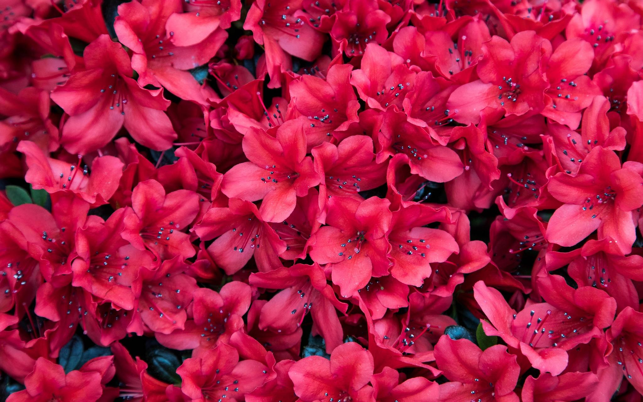 азалия лепестки цветы  № 3898054 без смс