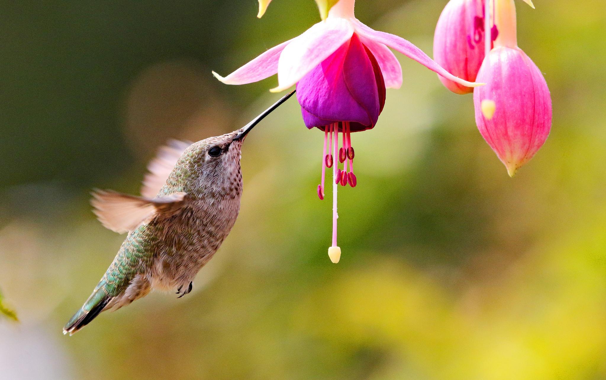 Калибри на цветке  № 2039403  скачать