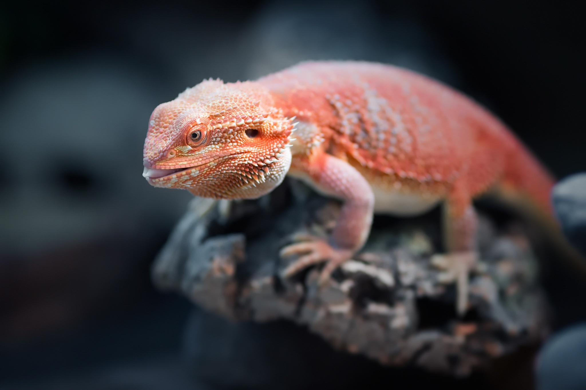 bearded lizard pictures - HD 2048×1365