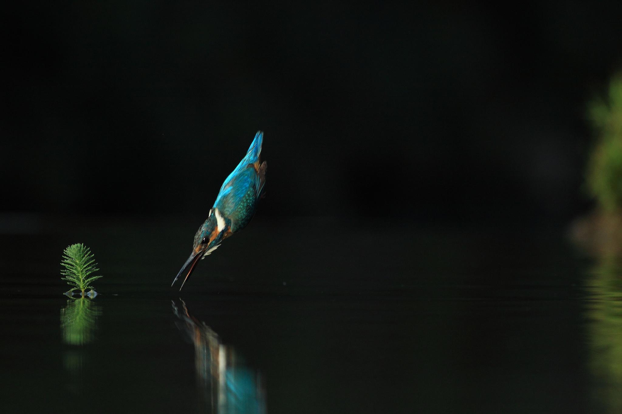 Орез взлетающий из воды  № 1188036  скачать