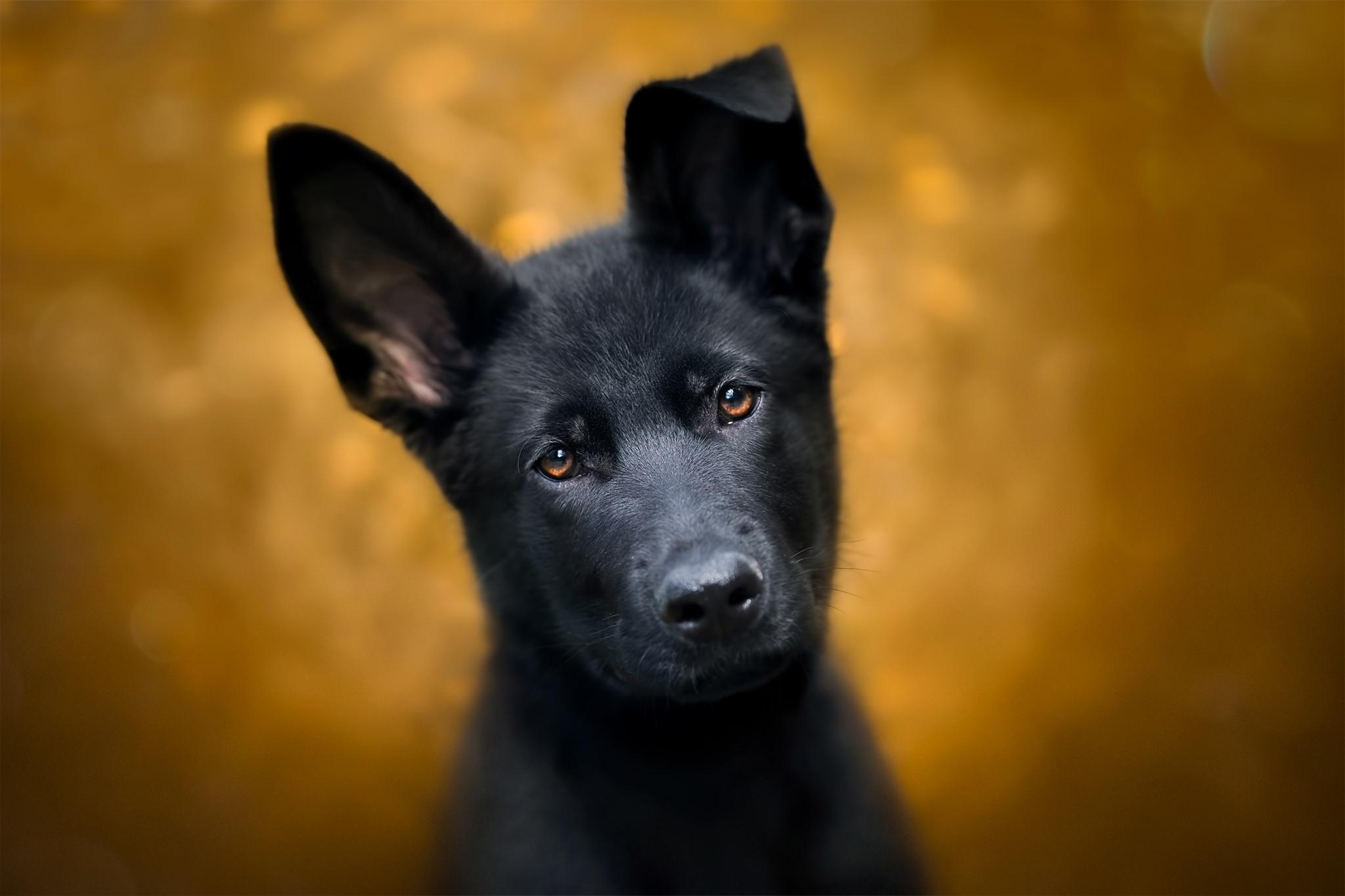 Пёс черный взгляд  № 1127486 бесплатно