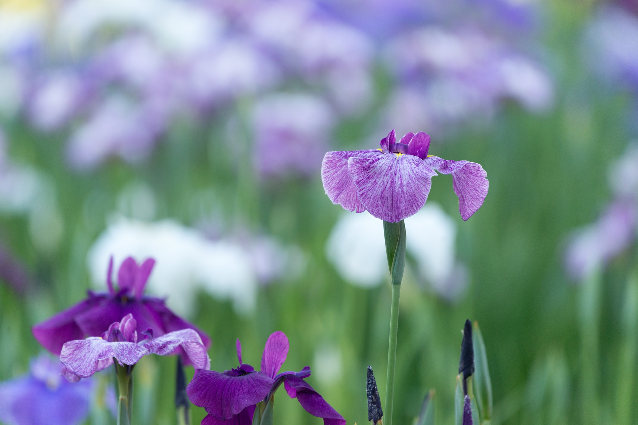 шмель,ирис,цветок,лето  № 529507 бесплатно