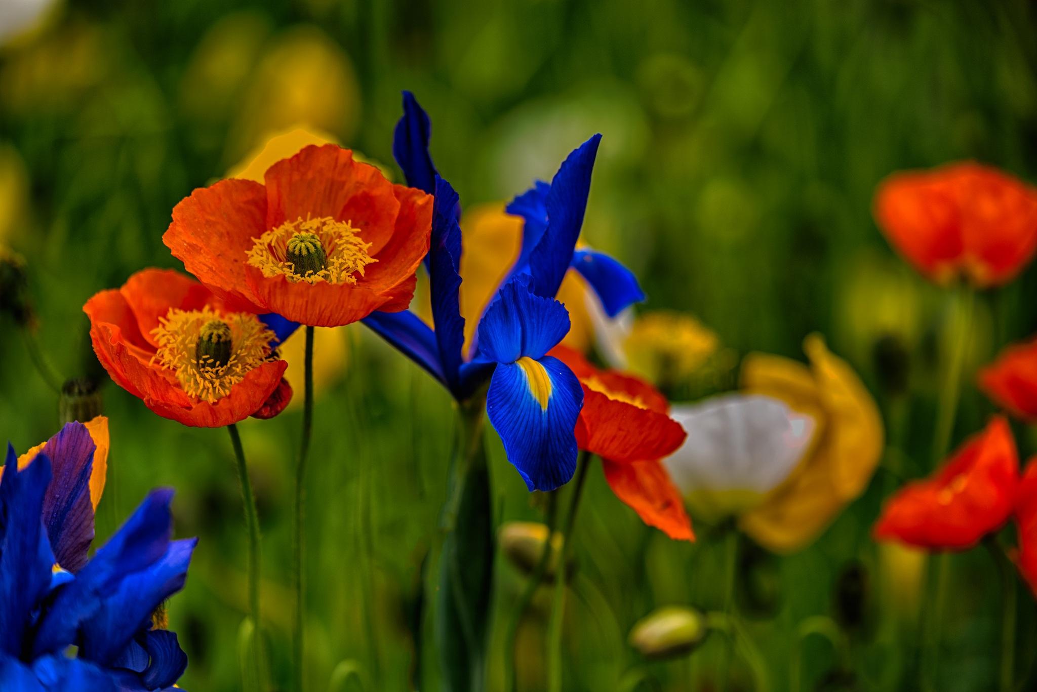 шмель,ирис,цветок,лето  № 529511 бесплатно