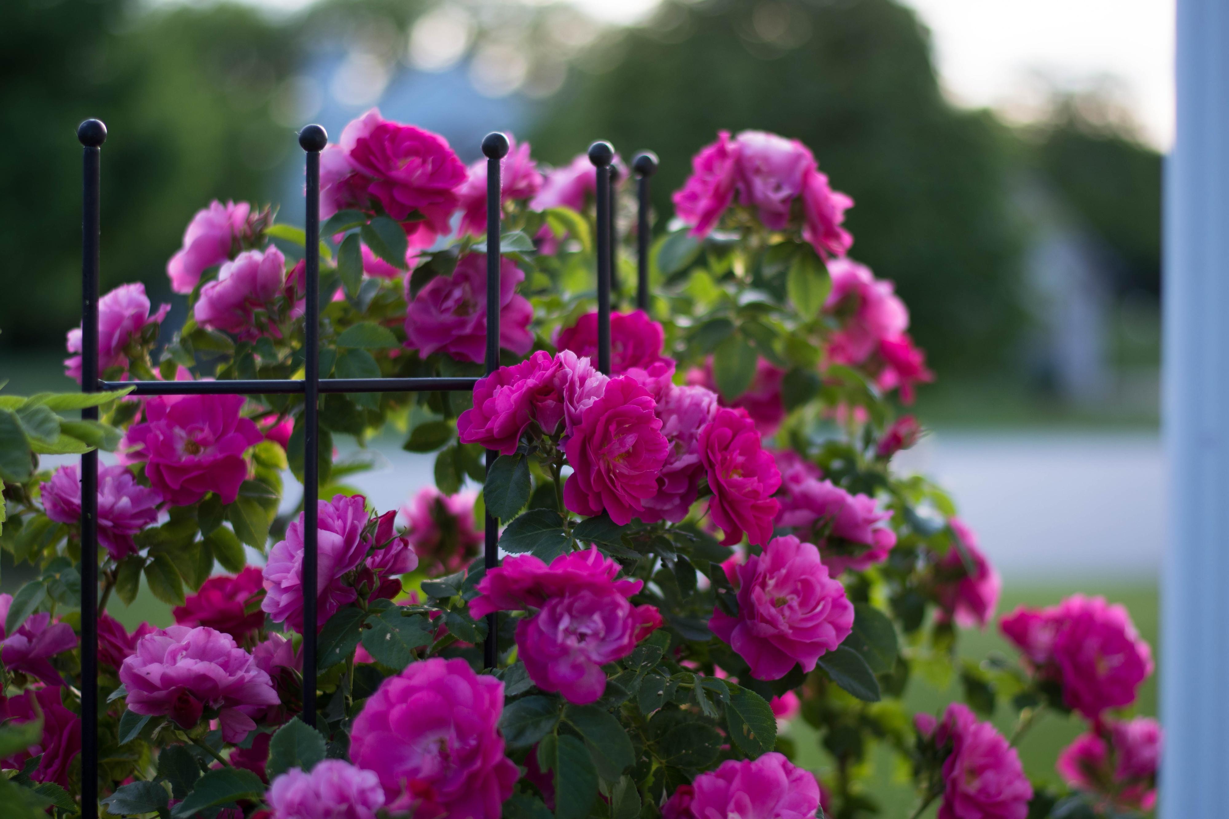 Розы куст забор  № 3015324 бесплатно