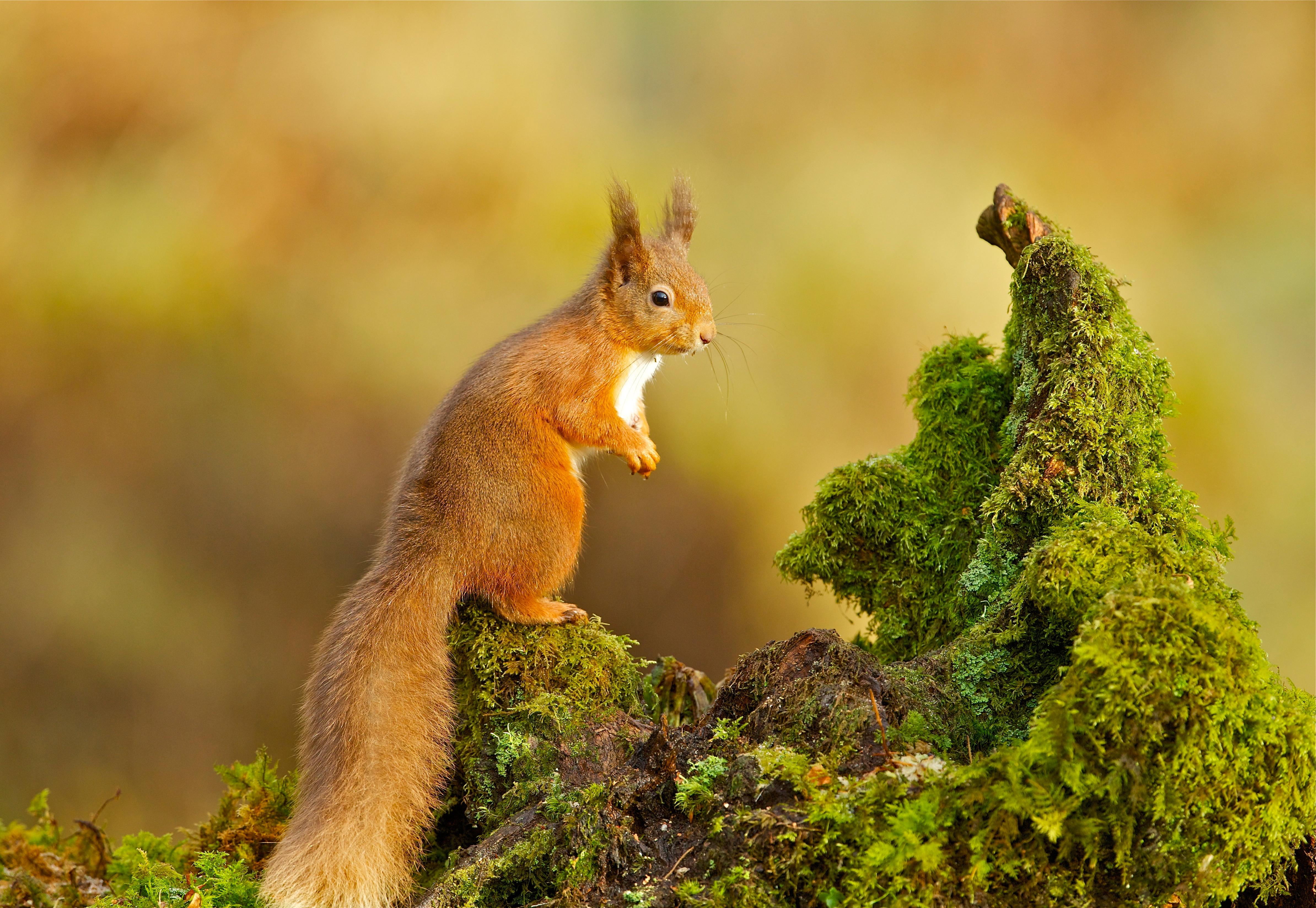 природа животные белка nature animals protein  № 1115632 загрузить