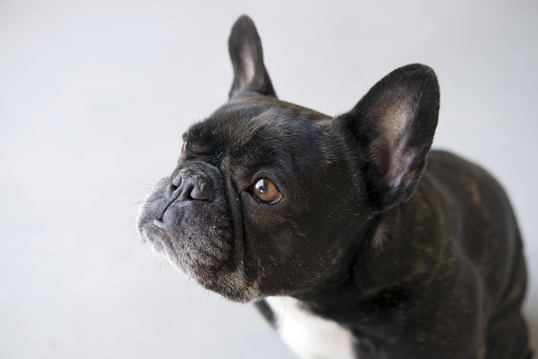Собака животное французский бульдог  № 2228313  скачать