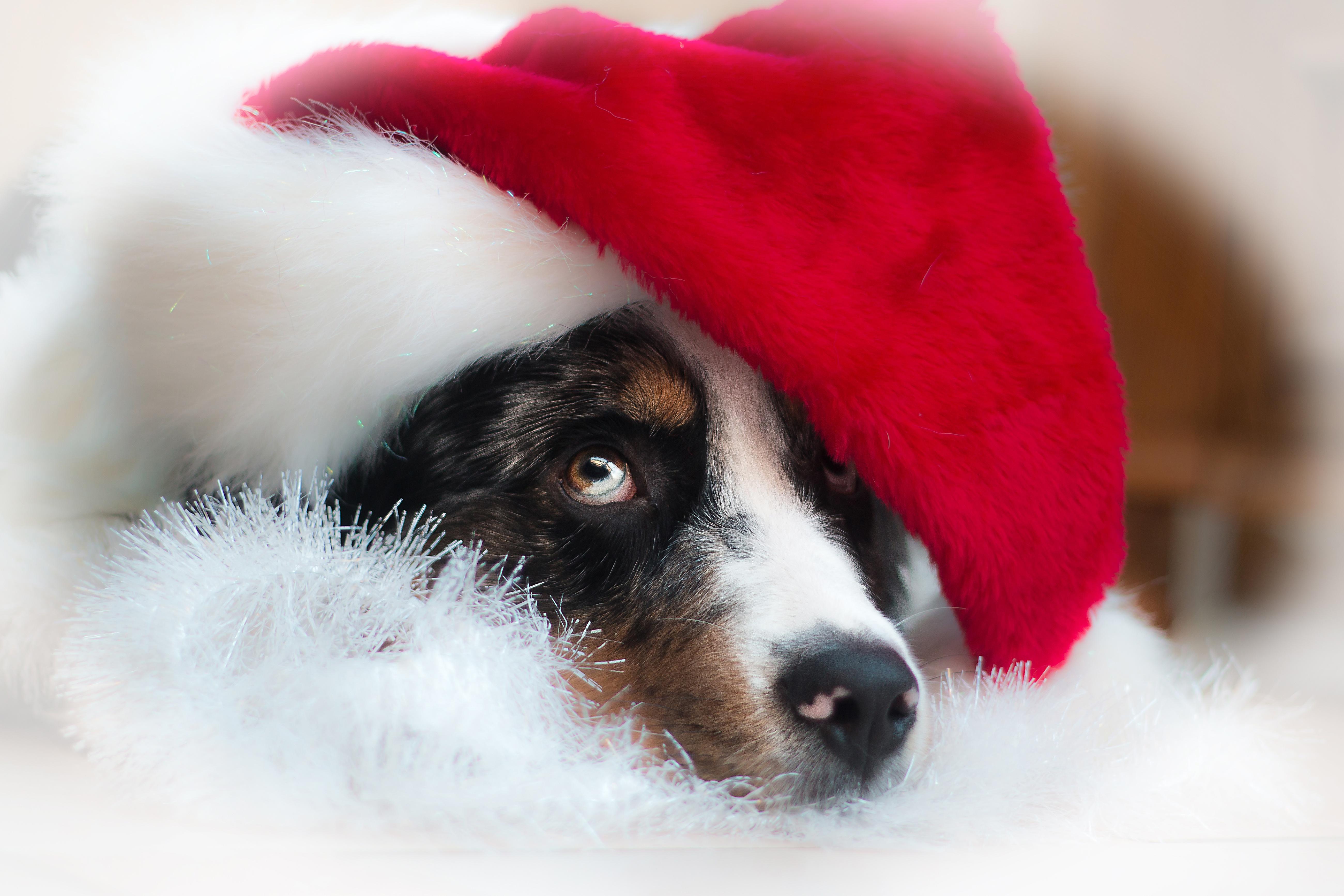 собачка в новогодней шапочке  № 1301962 загрузить