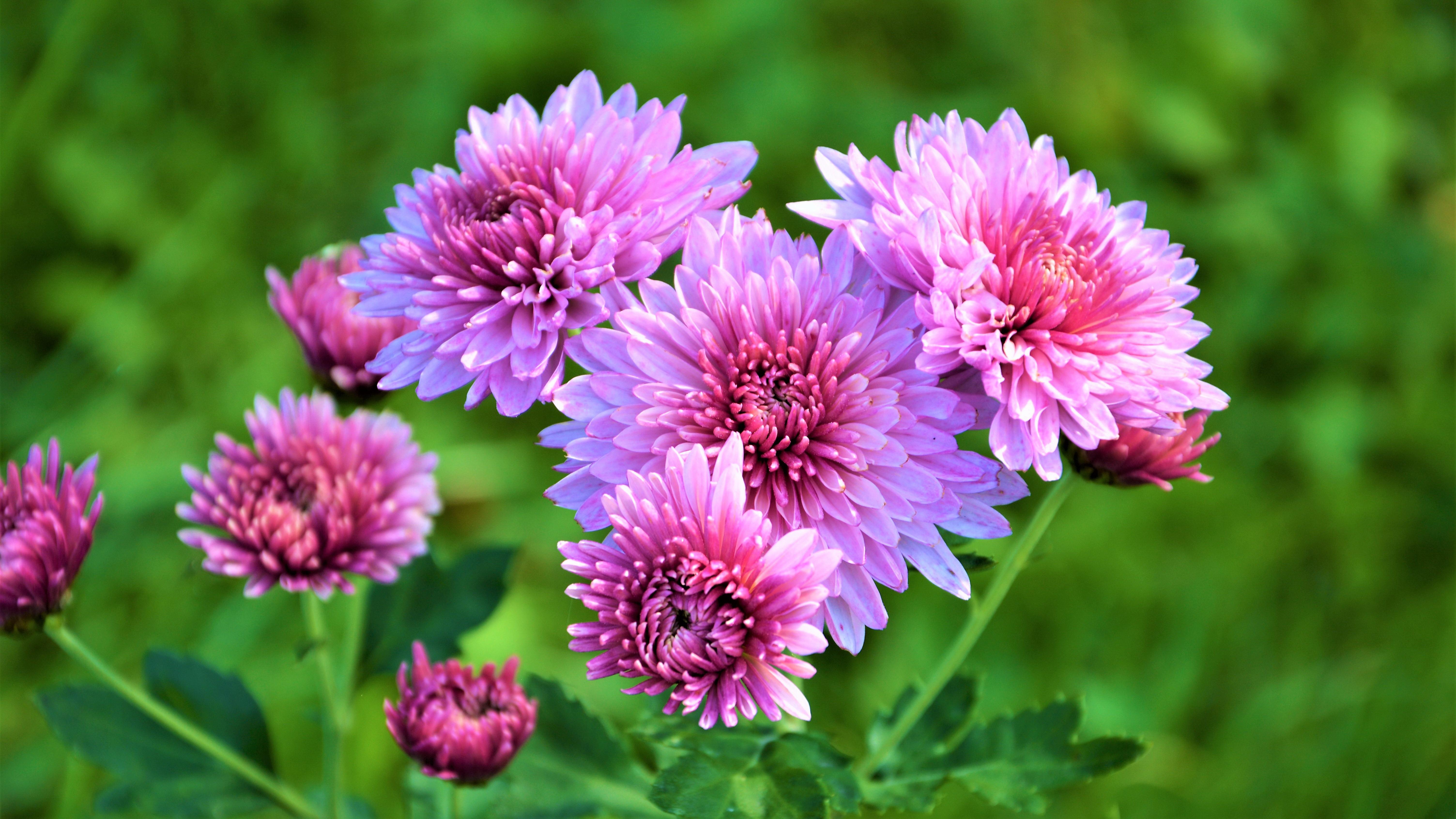 обои для рабочего стола осенние цветы хризантемы № 1155167 бесплатно