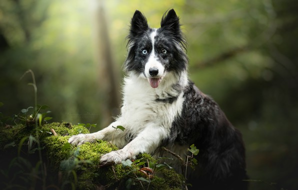 Picture look, moss, portrait, dog, bokeh, The border collie