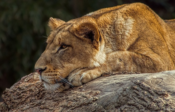 Picture face, stay, predator, lies, profile, lioness, wild cat