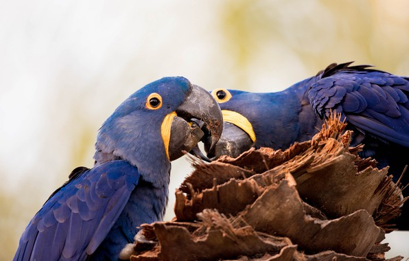 Picture birds, nature, stump, parrots, Ara