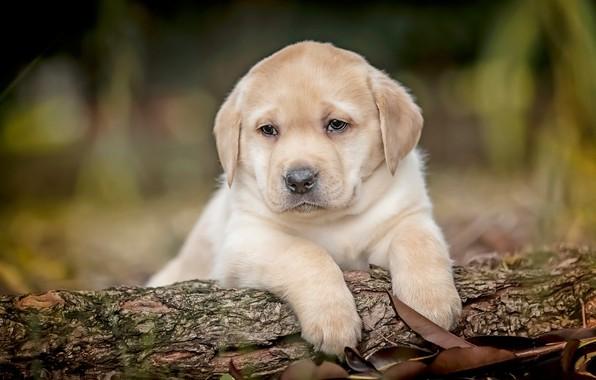 Photo wallpaper dogs, puppies, kids, a couple, chocolate, bokeh, Labrador Retriever