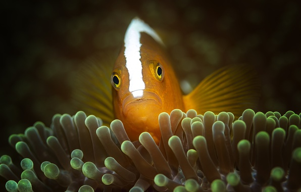Picture sea, the ocean, fish, underwater world, under water, clown fish, sea anemones