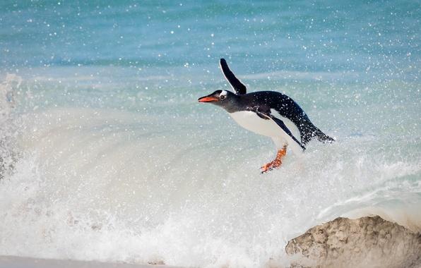 Picture the ocean, bird, wave, penguin, surfing, a gentoo penguin