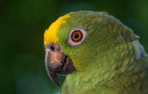 Picture look, green, bird, parrot