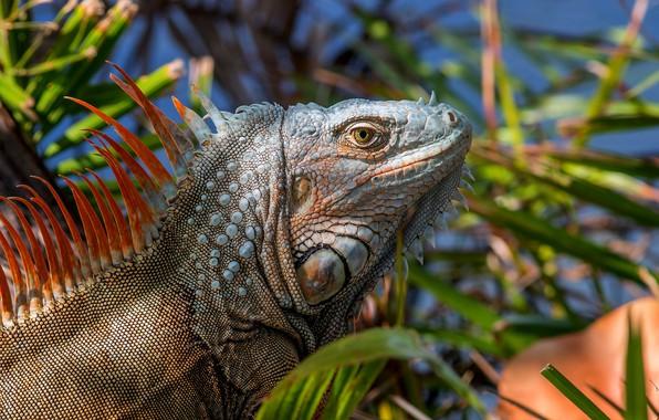 Picture portrait, lizard, spikes