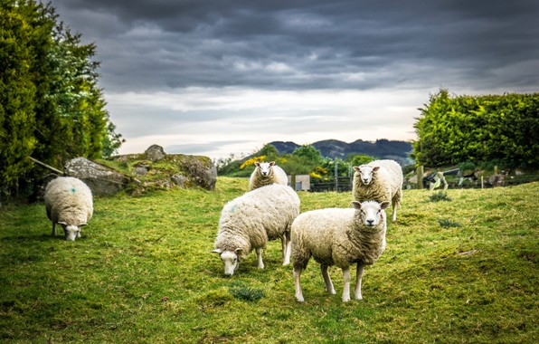 Picture nature, sheep, wool