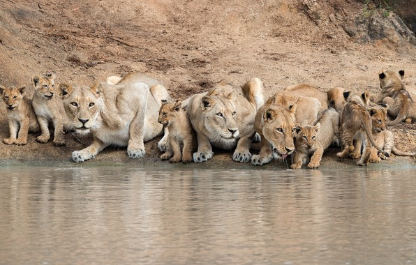 Picture cats, the cubs, drink, lioness, Pride