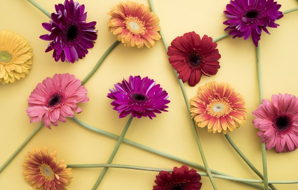 Picture flowers, colorful, gerbera, pink, flowers, spring, gerbera