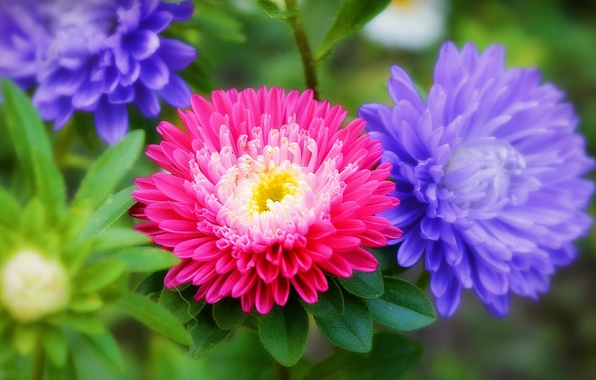 Picture Flowers, Flowers, Colors, asters, Asters