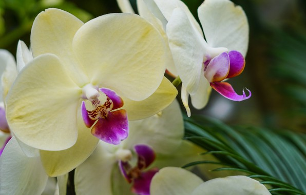 Picture flowers, orchids, flowering, flowers, Phalaenopsis, orchids, flowering