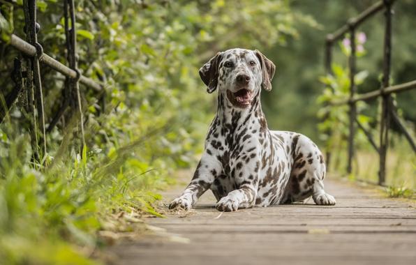 Picture nature, dog, the bridge