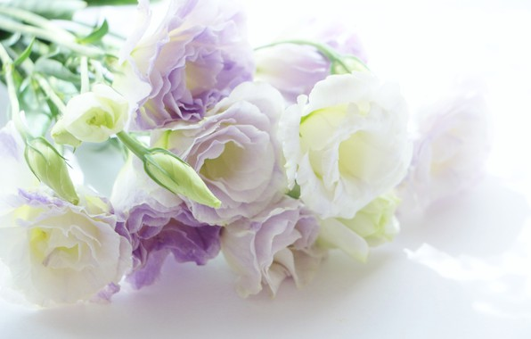 Picture flowers, Eustoma, white-lilac