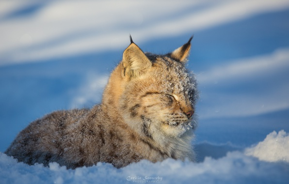 Picture predator, lies, lynx, wild cat, squints