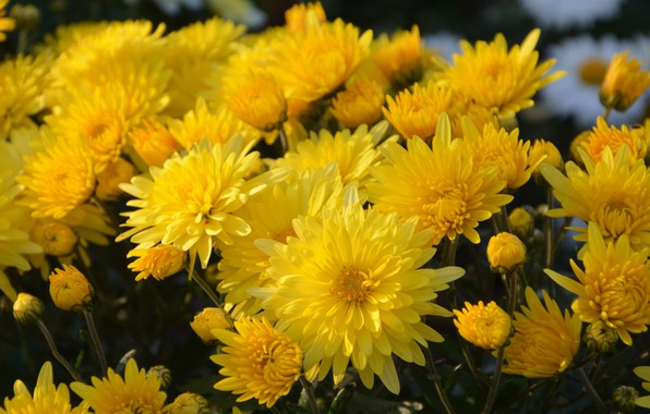 Picture flowers, bouquet, yellow, chrysanthemum