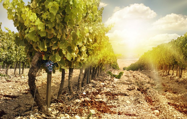 Picture landscape, nature, vineyard, bunches of grapes
