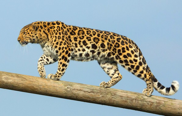 Picture predator, the Amur leopard, the far Eastern leopard