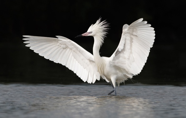 Picture water, bird, wings, white, Heron