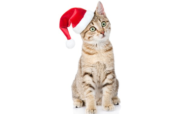 Picture cat, look, hat, New year