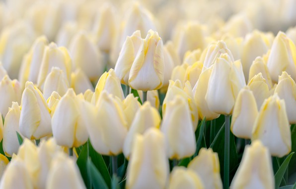 Picture summer, flowers, tulips