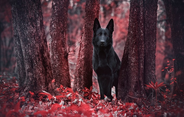 Picture forest, red, foliage, dog, black, red, forest, black, the trunks of the trees, dog, dog, …
