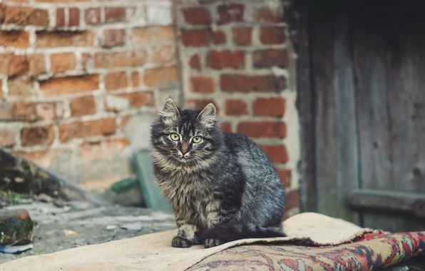 Photo wallpaper background, look, cat