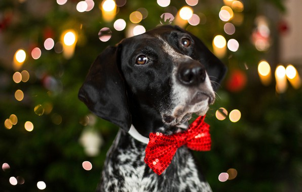 Picture eyes, look, face, close-up, red, background, holiday, new year, portrait, dog, blur, lights, bow, the …