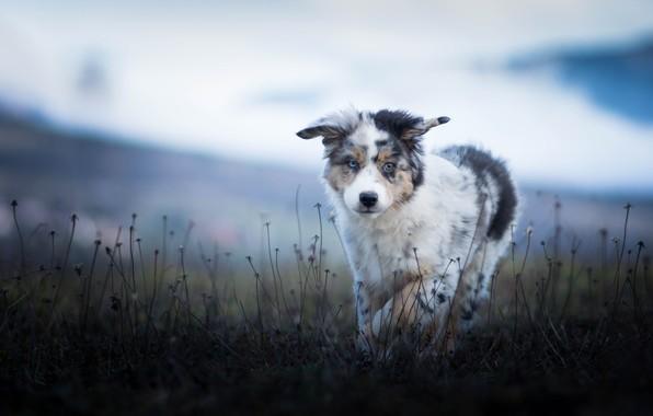 Picture field, nature, dog, puppy, walk, Australian shepherd, blade, Aussie