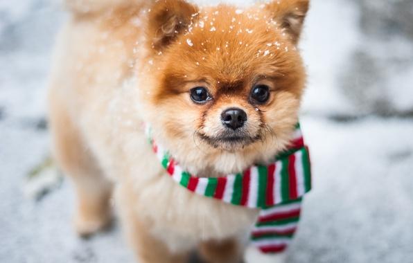 Picture winter, look, snow, scarf, muzzle, doggie, Pomeranian