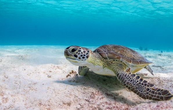 Picture sea, water, background, turtle, underwater world, sea turtle, at the bottom