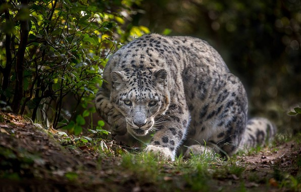 Picture Snow leopard, wild cat, IRBIS, Snow leopard