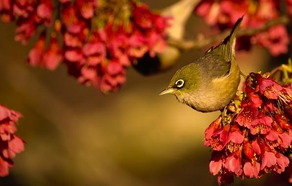 Picture bird, flowering, flowers, bokeh, flowering plum, Silver white-eye