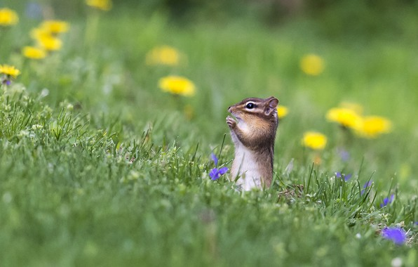 Picture flowers, meadow, Chipmunk, bokeh, animal, rodent