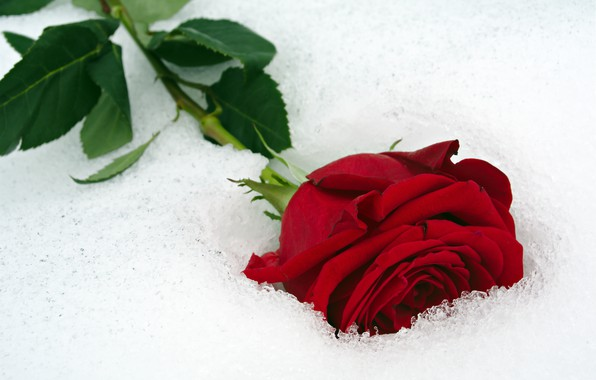 Wallpaper flower close up red rose lies bokeh in the - Rose in snow wallpaper ...