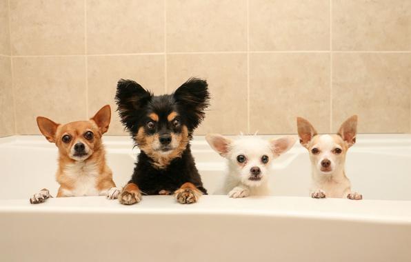 Picture dogs, bath, Quartet, bath day