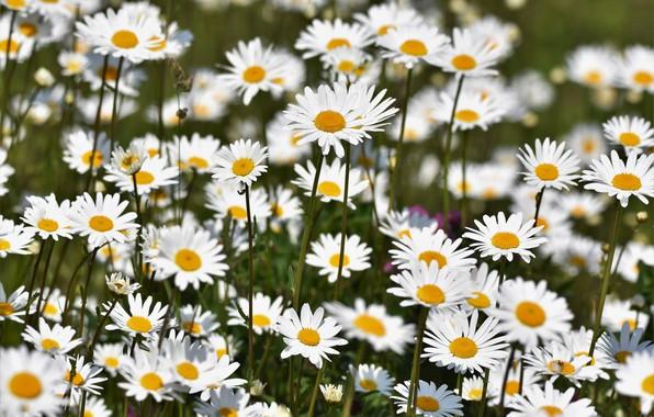 Picture field, chamomile, petals